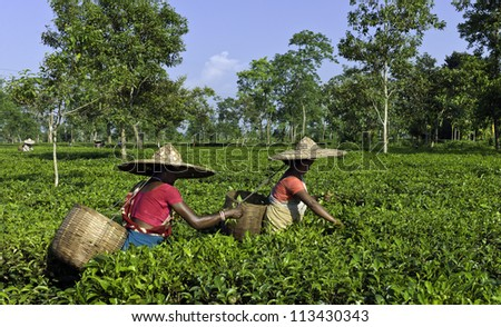 JORHAT - AUGUST 30: Unidentified women tea-leaf harvesters at work on a tea plantation on August 30, 2011 at Jorhat, Assam, India.