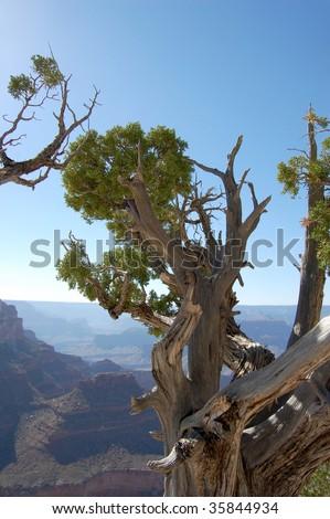 Joshua tree at the Grand Canyon in Arizona.