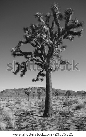 Joshua Tree in Black and White