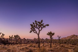 Joshua Tree in Joshua Tree National Park at Sunset with Purple and Pink Sky with Tree Silhouette