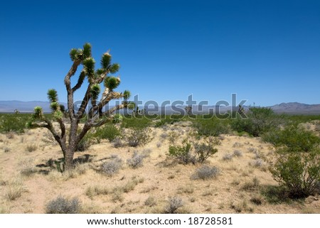 Joshua tree national park with blue sky