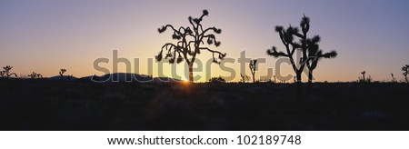 Joshua trees at sunset, California