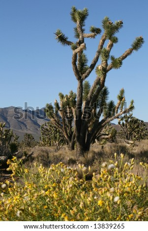 Joshua trees in Mojave desert, California