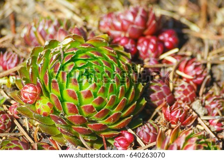 jovibarba, grows in the botanical garden, illuminated by the sun, bright, green with red and brown leaves on the tips, near a lot of small red plants, on the ground are the needles from the pine, #640263070