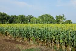 jowar grain or sorghum crop farm over blue sky background