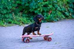 Joyful dog dachshund, black and tan, riding a skateboard on the street