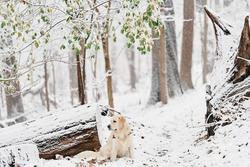 Joyka the Golden Retriever dog was enjoying the first snow