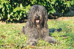Joyous young female Bergamasco Shepherd dog with black coat is seen on an autumn day outside in a park in northern Italy, Europe.