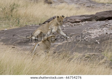 Juevenile lion cubs play fight on the savannah of the Masai Mara.