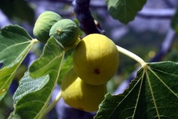 Juicy figs in a natural environment!