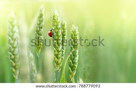 Juicy fresh ears of young green wheat and ladybug on nature in spring summer field close-up of macro with free space for text