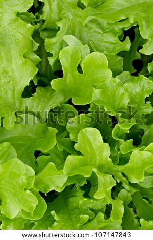 Juicy, fresh, green, natural, not collected salad leaves on a bed