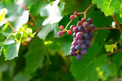 Juicy grape cluster growing on a bush in summertime on bright sunlight in vineyard. Red wine grapes plant, new harvest of black wine grape on sunny day