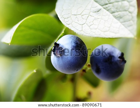 Juicy Highbush Blueberries Ripening On The Bush, Full Of  Chemopreventive Phytochemicals, Such As Resveratrol, Pterostilbene, Anthocyanins and Proanthocyanidins, That Prevent Inflammation and Cancer