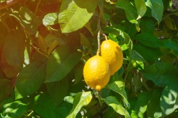 Juicy lemon fruits hanging on a branch on bright sunlights in the garden on summertime. Lemons are growing on lemon tree