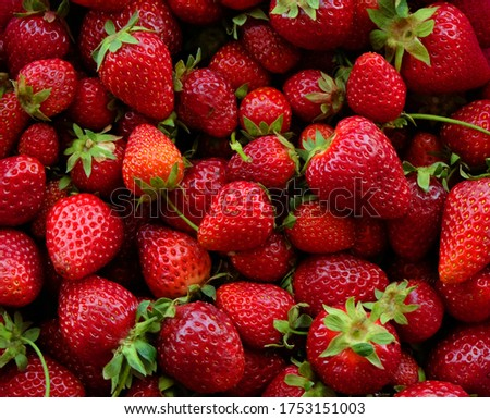 Juicy red strawberries closeup after harvest in Summer Stok fotoğraf ©