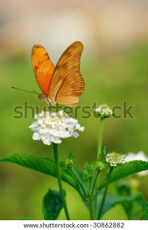 Julia Butterfly or Julia Heliconian on a flower (Dryas julia)
