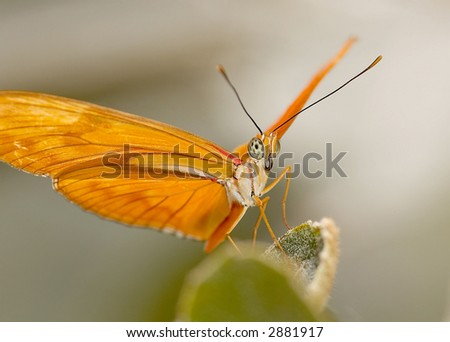 Julia Longwing Butterfly - stock photo