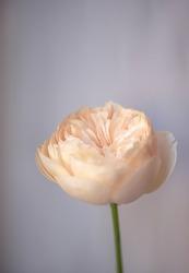 Juliet rose ,pale pink. Macro photo