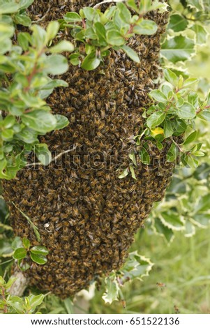 July 2014  A wild swarm of bees on a bush in a garden #651522136