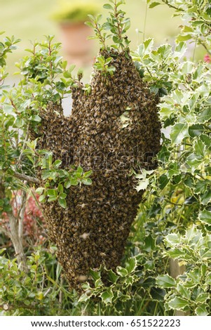 July 2014  A wild swarm of bees on a bush in a garden #651522223