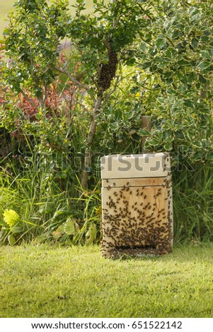 July 2014  Collecting a wild swarm of bees from a bush in a garden into a collection box #651522142
