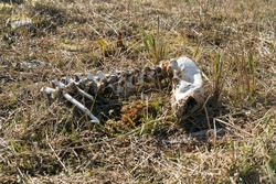 Juminda/Estonia-04.15.2020: Dead animal spine and skull connected. Dead animal corps on the ground in the grass. Rotten bones with out flesh. Mammel skull and spine. Dead animal in the nature. Spring