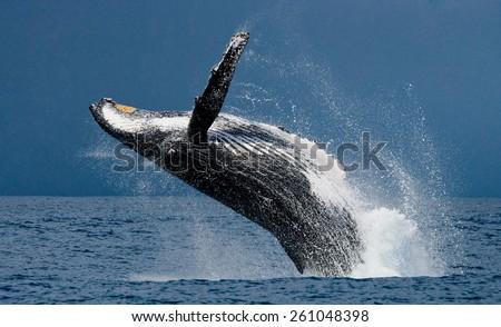 Jump humpback whale. Madagascar