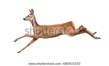 Jump of the Roe Deer isolated on white. #680431033