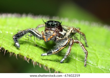 jump spider on green leaf