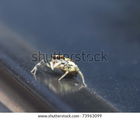 jumper spider at dust surface