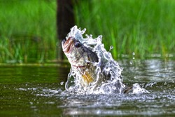 Jumping bass, Pine log forest, Panama City Beach, Florida