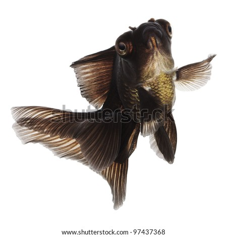 Jumping Black Goldfish on White Without Shade - stock photo