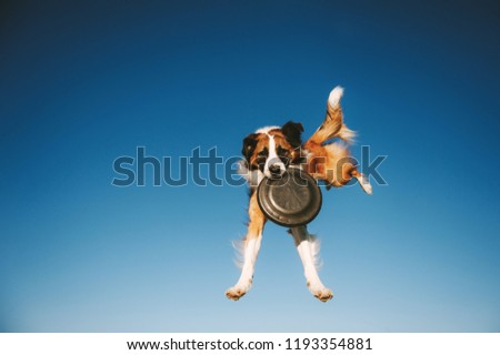 Jumping Border Collie dog is catching frisbee disc in the air on blue sky backgroud #1193354881