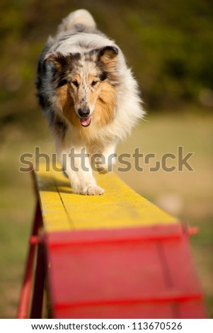 jumping border collie on agility course