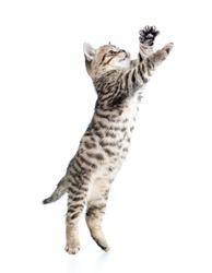 jumping cat kitten isolated on white background