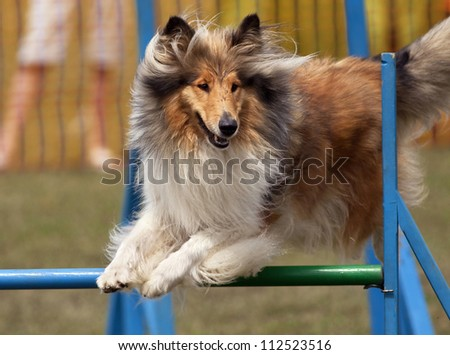 Jumping collie at agility competition