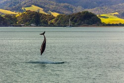 Jumping dolphin in the Bay of Islands, North island of New Zealand