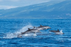 Jumping for joy, Atlantic striped dolphins.