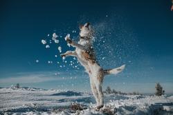 Jumping fox terrier enjoying snow.