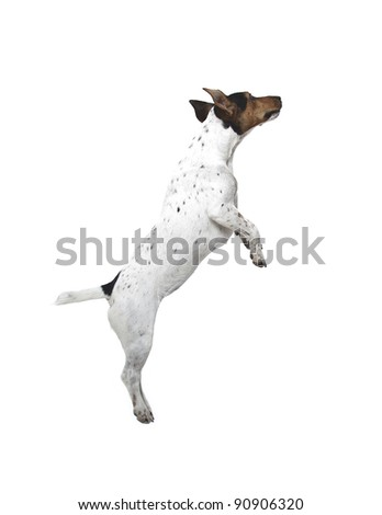 jumping Jack Russell terrier on white background