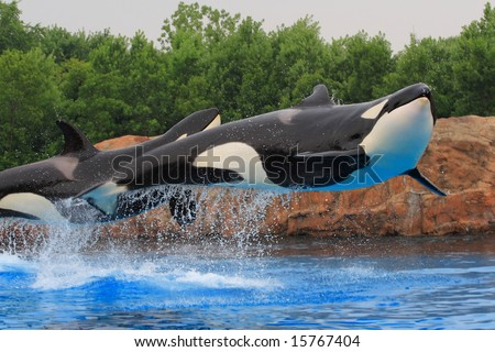 Jumping killer whales - stock photo