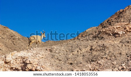 Jumping mountain goat animal photography in wilderness highland sharp rocky natural environment and blue sky background, panoramic picture daily planet geographic concept