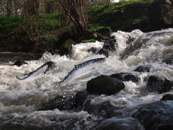 jumping out from water salmon  on waterfall background