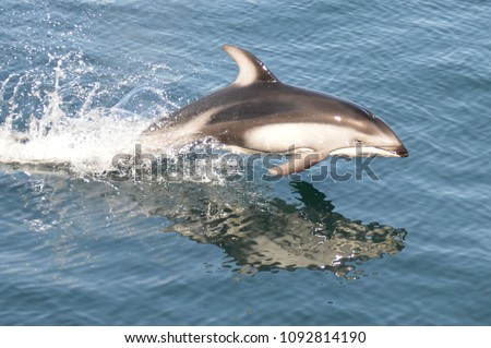 Jumping Pacific white-sided dolphin. British Columbia.