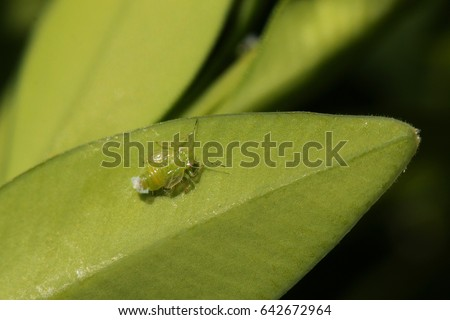 Jumping plant louse sitting on a boxwood leaf. A common garden pest species on a close up horizontal picture.