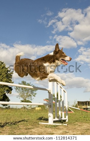 jumping purebred  border collie on a blue sky