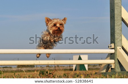 jumping purebred little yorkshire terrier in a day of spring