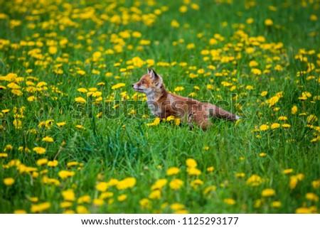 Jumping Red Fox, Vulpes vulpes, wildlife scene from Europe. Orange fur coat animal in the nature habitat. #1125293177