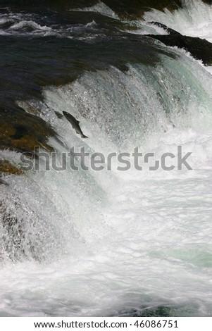 Jumping sockeye salmon